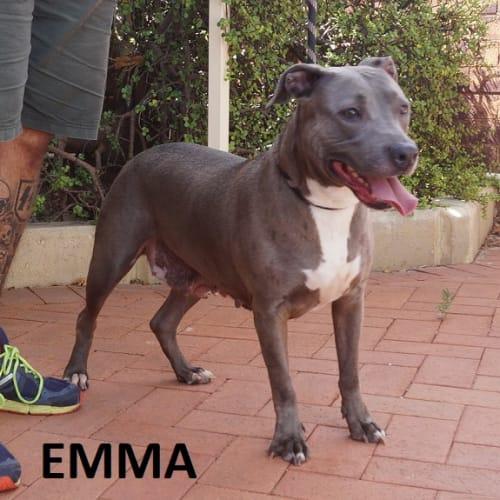 Emma - American Staffordshire Terrier Dog