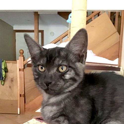 Zara - Domestic Short Hair Cat