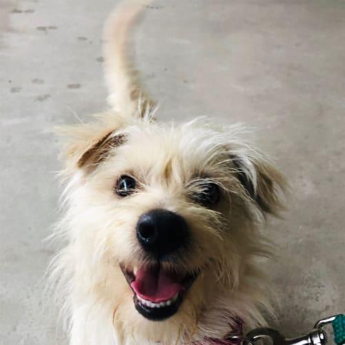 Ollie - Terrier Dog