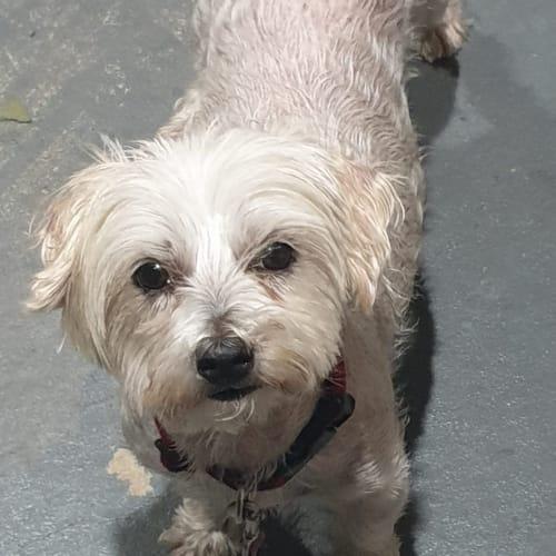 Queenie 💚💚 - Maltese Dog
