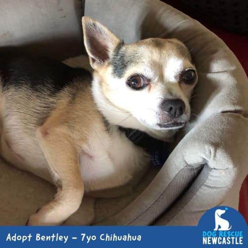 Bentley ~ snuggly 7yo Chihuahua - Chihuahua Dog