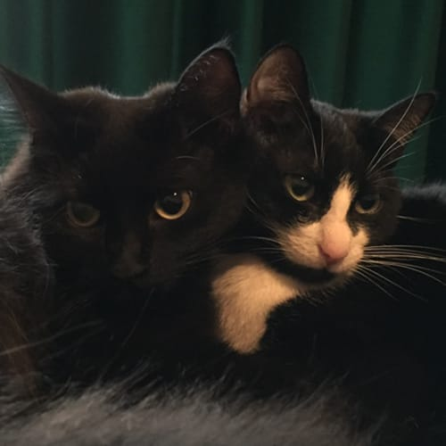 Oreo and Lily - Domestic Short Hair x Domestic Medium Hair Cat