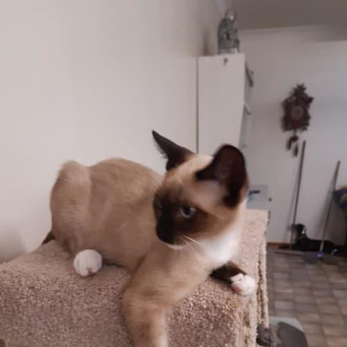 Tim Tam - Siamese Cat