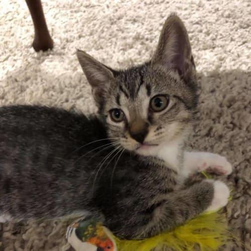 Popeye - Domestic Short Hair Cat