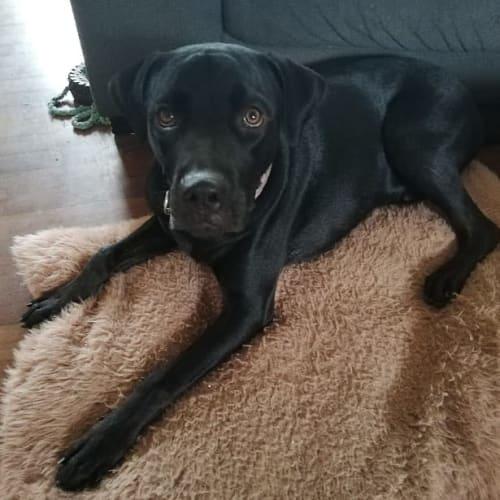 Benson - Rottweiler Dog