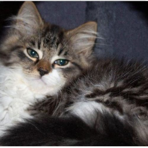 Ilya - Domestic Medium Hair Cat