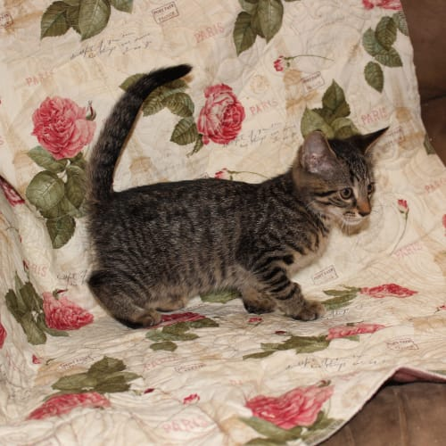 Floki **2nd Chance Cat Rescue** - Domestic Short Hair Cat