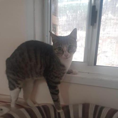 Bridgette - Domestic Short Hair Cat