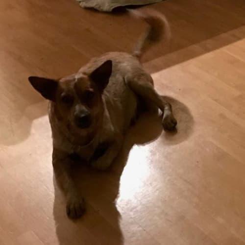 Matilda - Red Heeler Dog