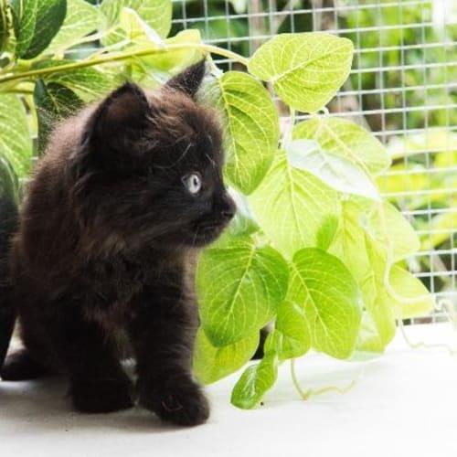 Jeremy - Domestic Short Hair Cat