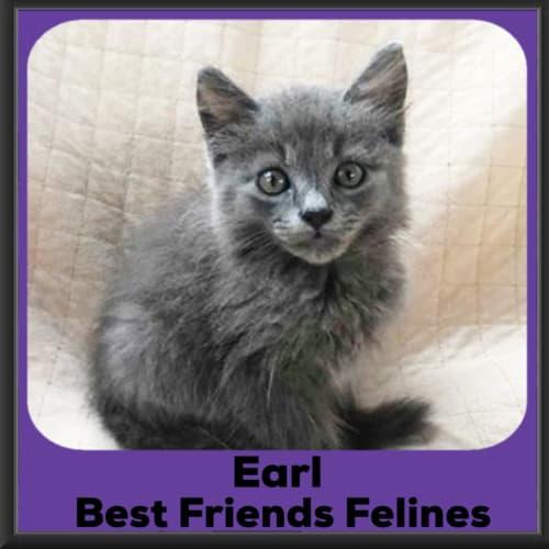 Earl  - Domestic Long Hair Cat