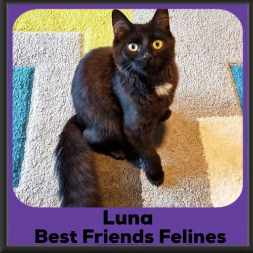Luna  - Domestic Medium Hair Cat