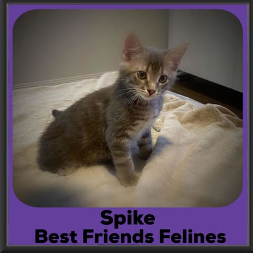 Spike  - Domestic Short Hair Cat