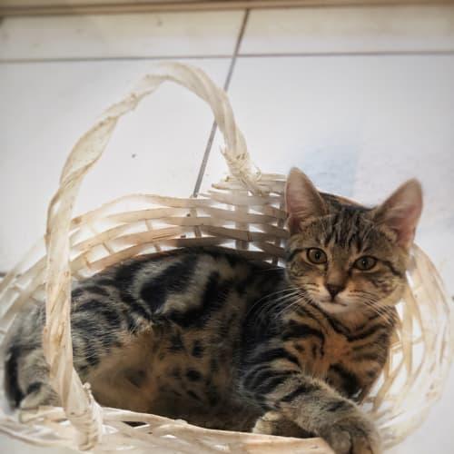 Aura - Domestic Short Hair Cat