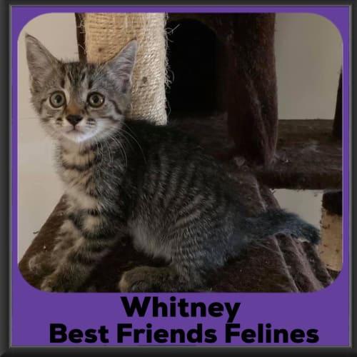 Whitney  - Domestic Short Hair Cat