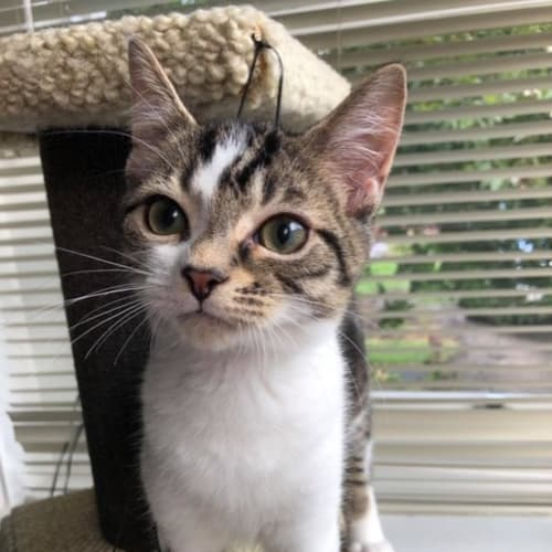 Ben Ben the cutest little dumpling  - Domestic Short Hair Cat