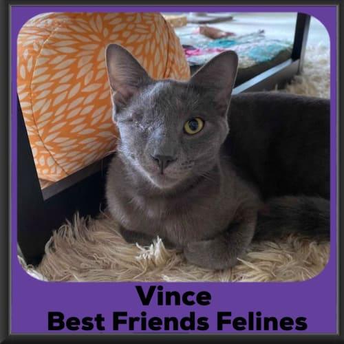 Vince  - Russian Blue Cat