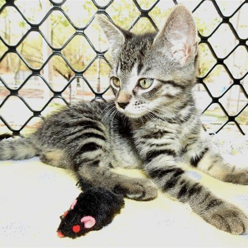 Lilo - Domestic Short Hair Cat