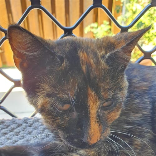 Iris - Domestic Short Hair Cat