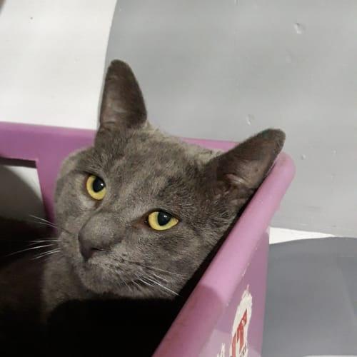 Magnus - Domestic Short Hair Cat