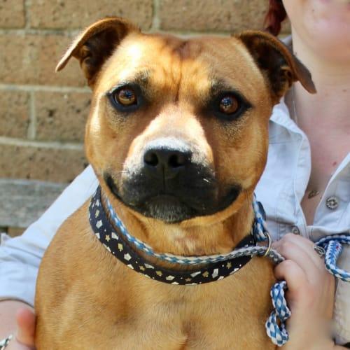 Roxi - Staffordshire Bull Terrier Dog