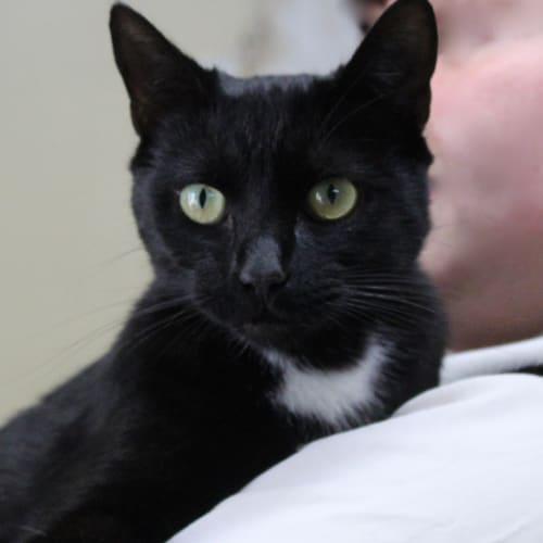 Ambrose - Domestic Short Hair Cat