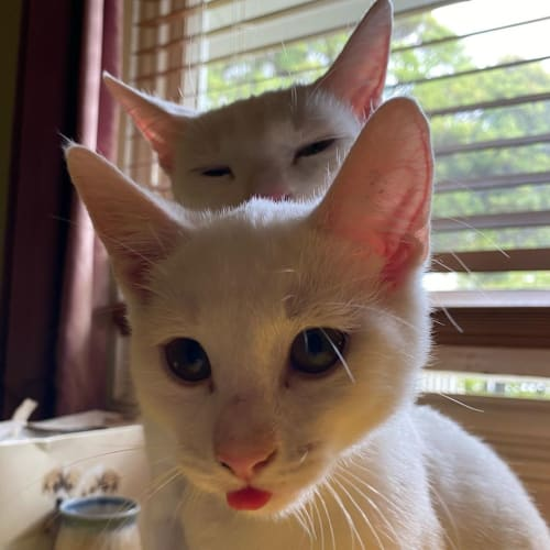 Micah & Flint - wacky little brothers - Domestic Short Hair Cat