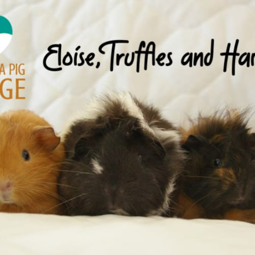Eloise, Truffles and Harriet (indoor home only) - Abyssinian Guinea Pig