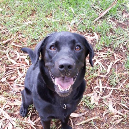 Piper - Labrador Dog