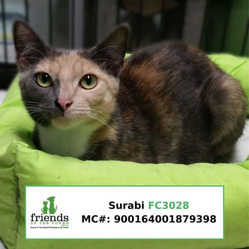 Surabi - Domestic Short Hair Cat