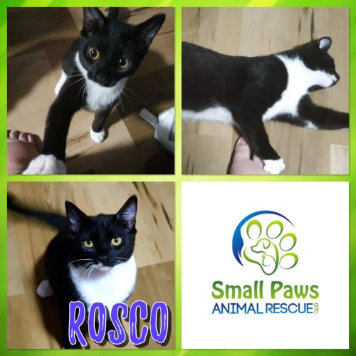 Rosco - Domestic Short Hair Cat