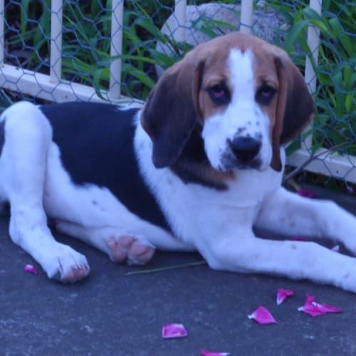 Leila - Bloodhound Dog