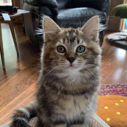 Elsie ❤ - Domestic Medium Hair Cat
