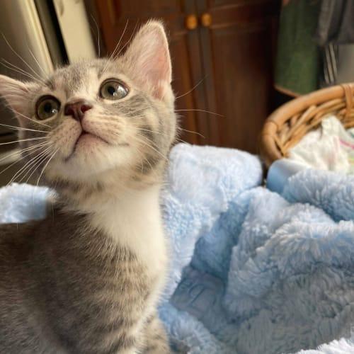 Tiny Tot & Marshmallow - Domestic Short Hair Cat