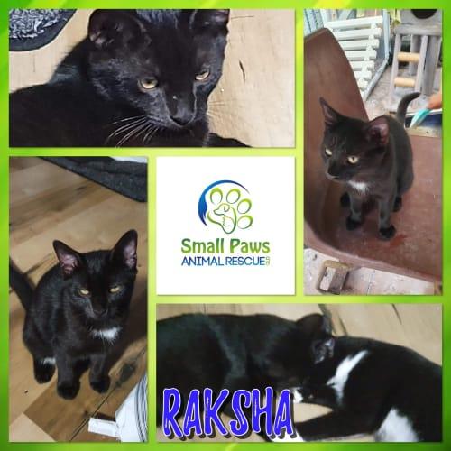 Raksha  - Domestic Short Hair Cat