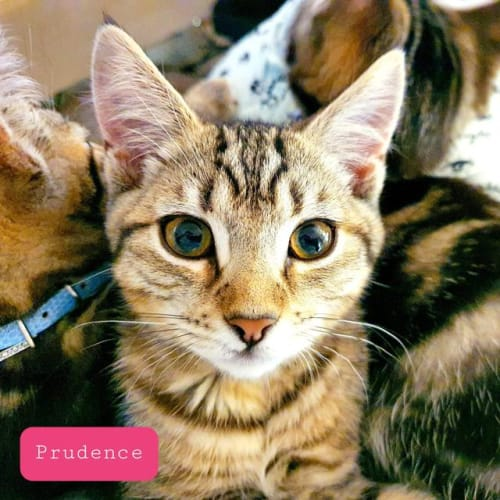 Prudence - Domestic Short Hair Cat