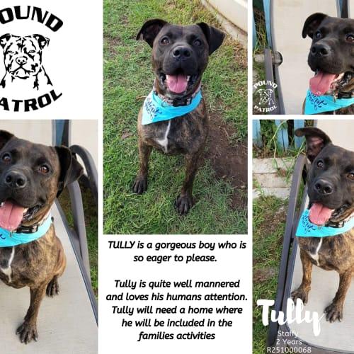 Tully  - Staffy Dog