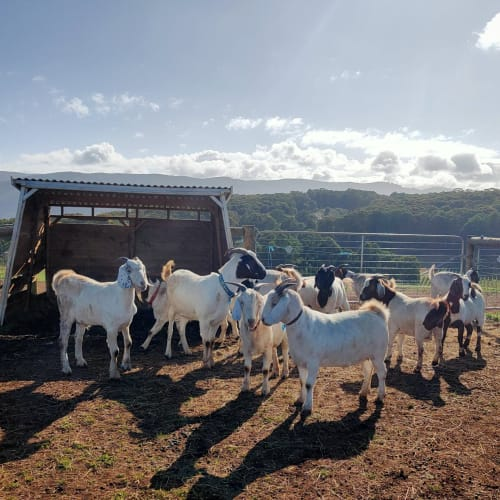Goats for adoption! -  Goat