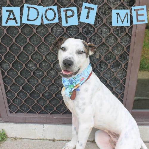 Ralph ~ sweet 8mo Mastiff x puppy - Mastiff Dog