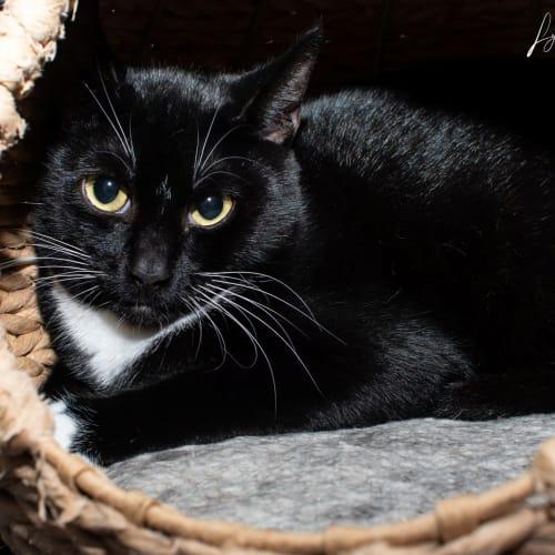 1588 - Frankie - Domestic Short Hair Cat