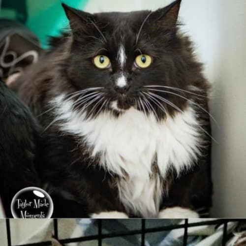 514/511 - Lady & Libby - Domestic Medium Hair Cat