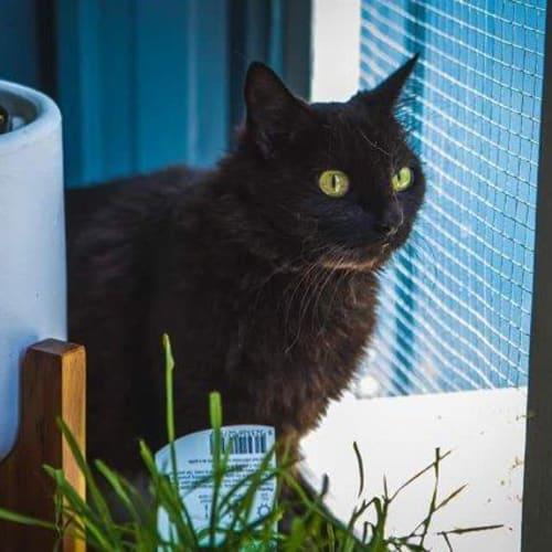 Bubble - Domestic Long Hair Cat