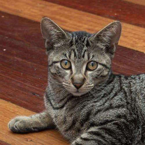 Kaiju ~ lovely 5mo Tabby kitten - Domestic Short Hair Cat
