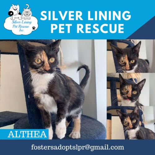 Althea - Domestic Short Hair Cat