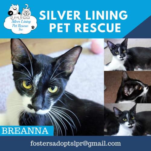 Breanna - Domestic Short Hair Cat