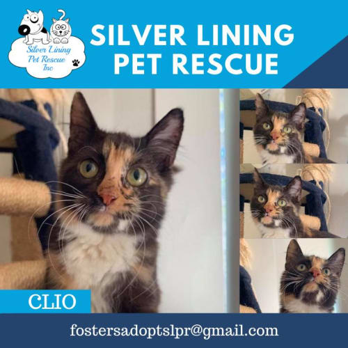 Clio - Domestic Short Hair Cat