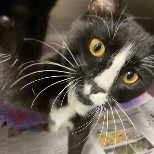 Oliver - Domestic Short Hair Cat