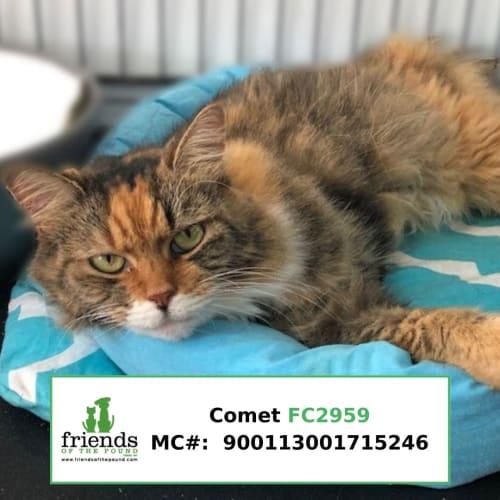 Comet - Domestic Medium Hair Cat