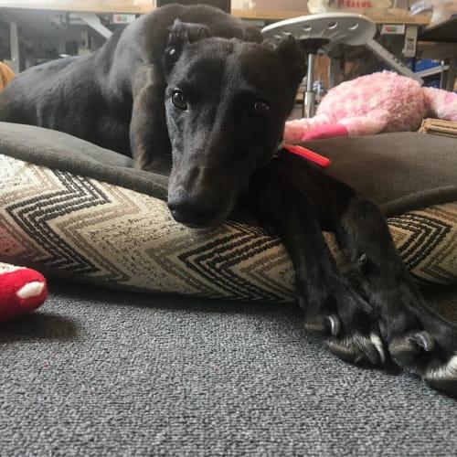 Fly  - Greyhound Dog