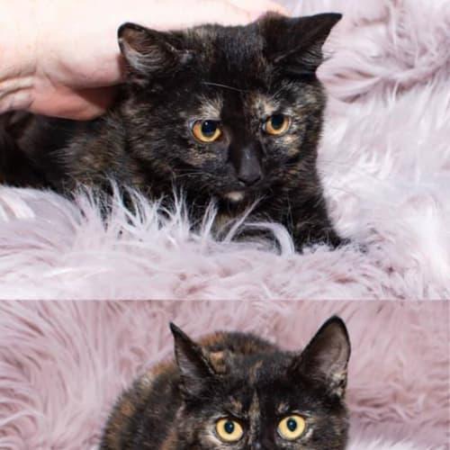 2473/2474 Sugar & Spice - Domestic Short Hair Cat